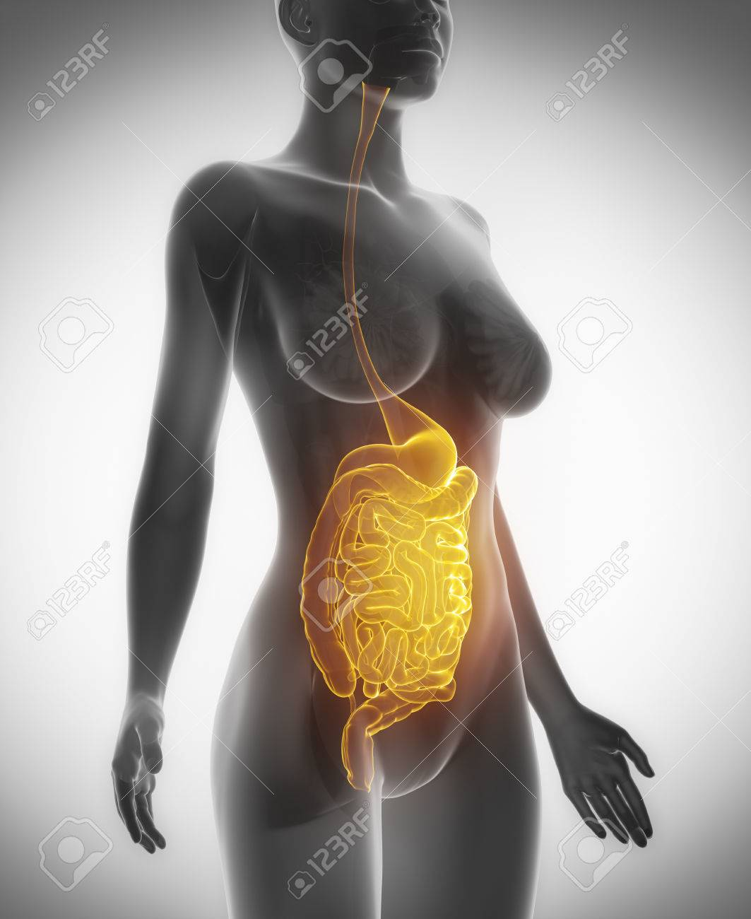 Female Guts And Stomach Anatomy X Ray Scan Stock Photo Picture And