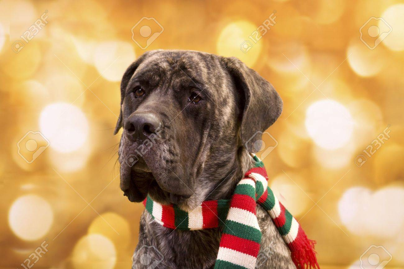 english mastiff dog with christmas lights for background and a scarf stock photo 8144241 - Dog Christmas Lights