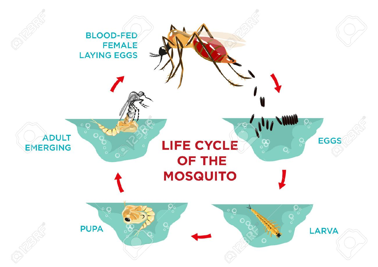 Life cycle of the mosquito diagram poster template from egg life cycle of the mosquito diagram poster template from egg hatching to larva and pupa pooptronica Choice Image