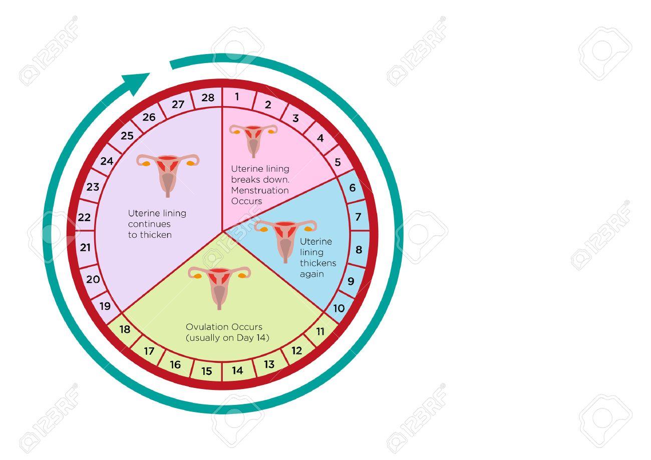 Calendario Mestruale Giorni Fertili.Fertilita Ciclo Grafico Calendario Delle Donne Con Diverse Fasi Clip Art Modificabile