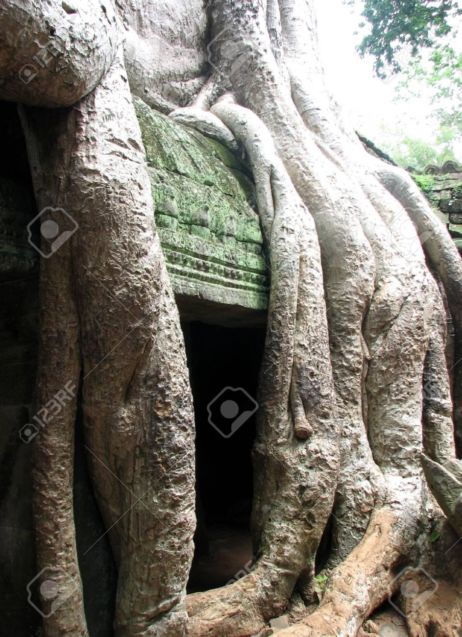 Silk Cotton Trees Silk Cotton Tree Roots Running