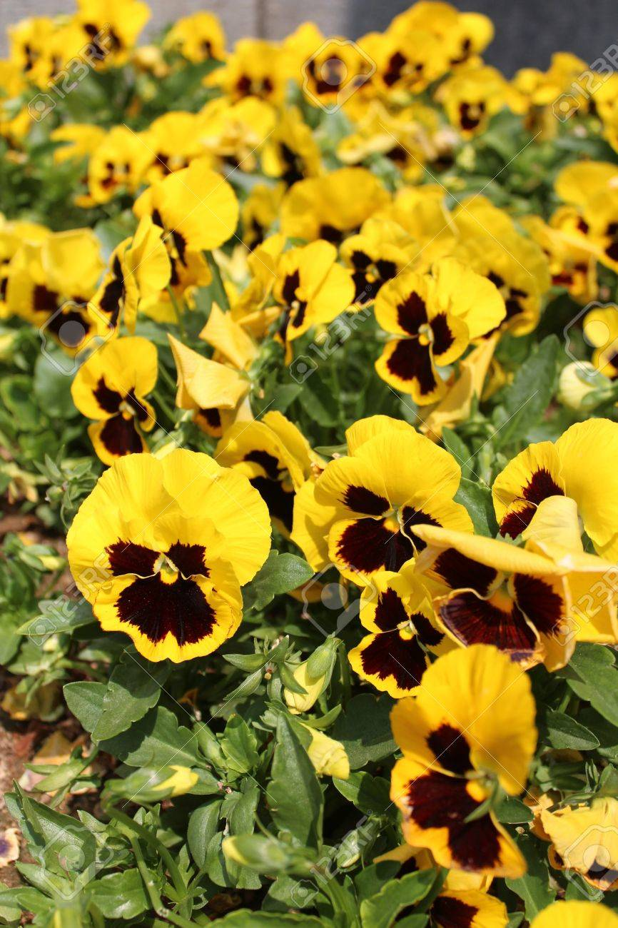 Yellow Pansy Flowers At Gyeongbokgung Palace In Seoul South Stock