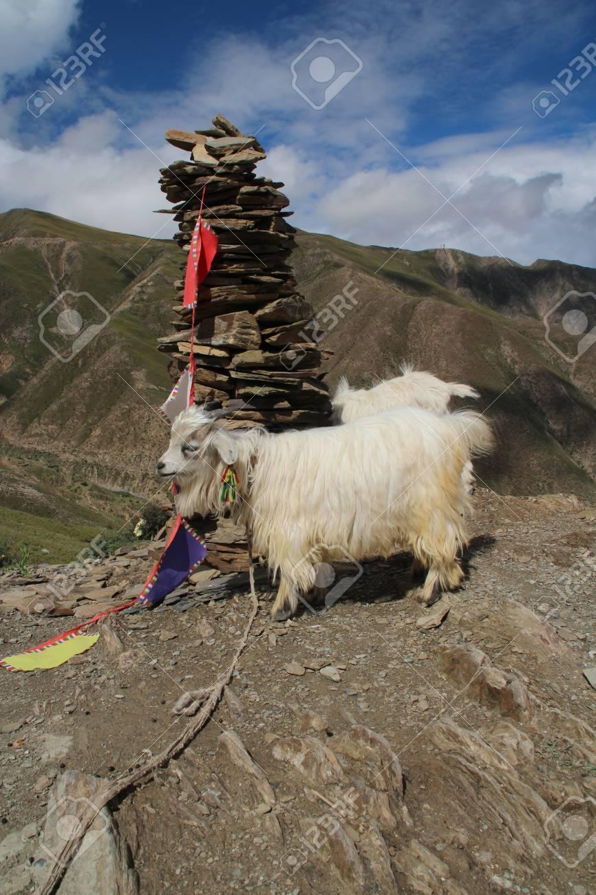 new arrival uk store huge inventory Blanc pashmina chèvre à côté de la Mani Dui au Tibet, en Chine