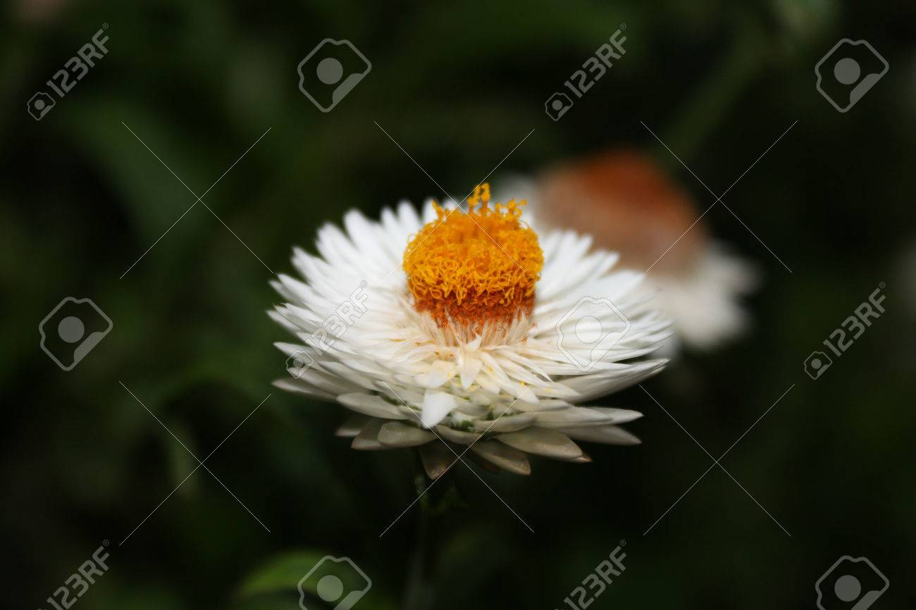 White Flower With Yellow Center Stock Photo Picture And Royalty