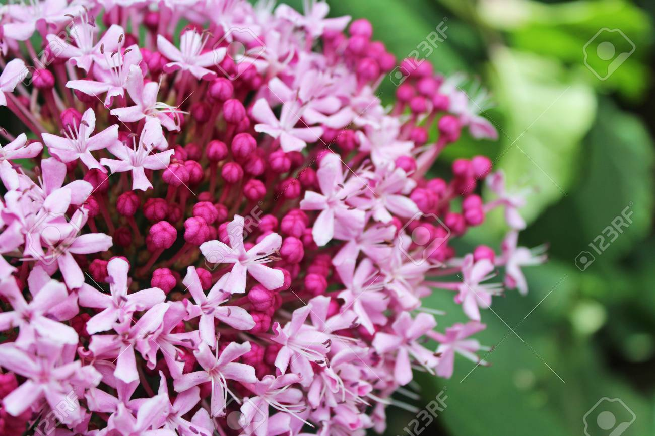Little Pink Flowers With Buds Blossom In The Garden Stock Photo