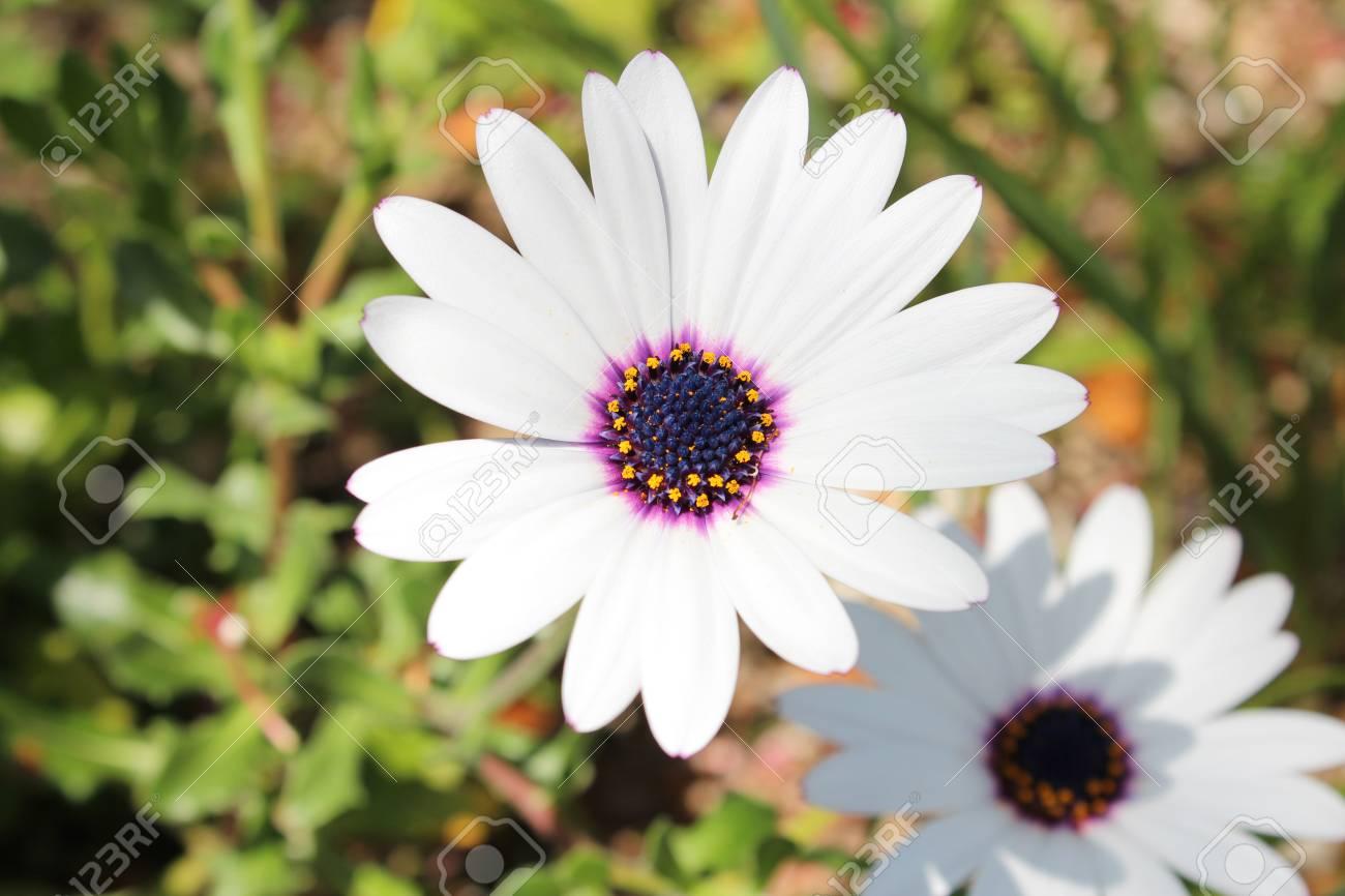 Close up of white osteospermum flower with blue and yellow centre close up of white osteospermum flower with blue and yellow centre at kyoto japan stock izmirmasajfo
