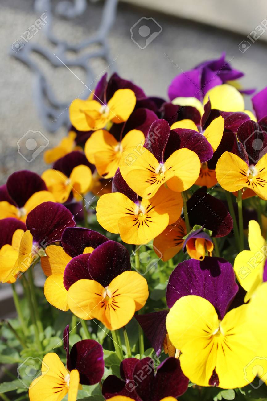Beautiful Purple And Yellow Pansy Flowers In Kyoto Japan Stock