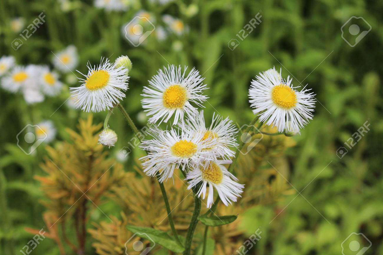 Aster Flower Is White Petals With The Vivid Yellow Center In Stock