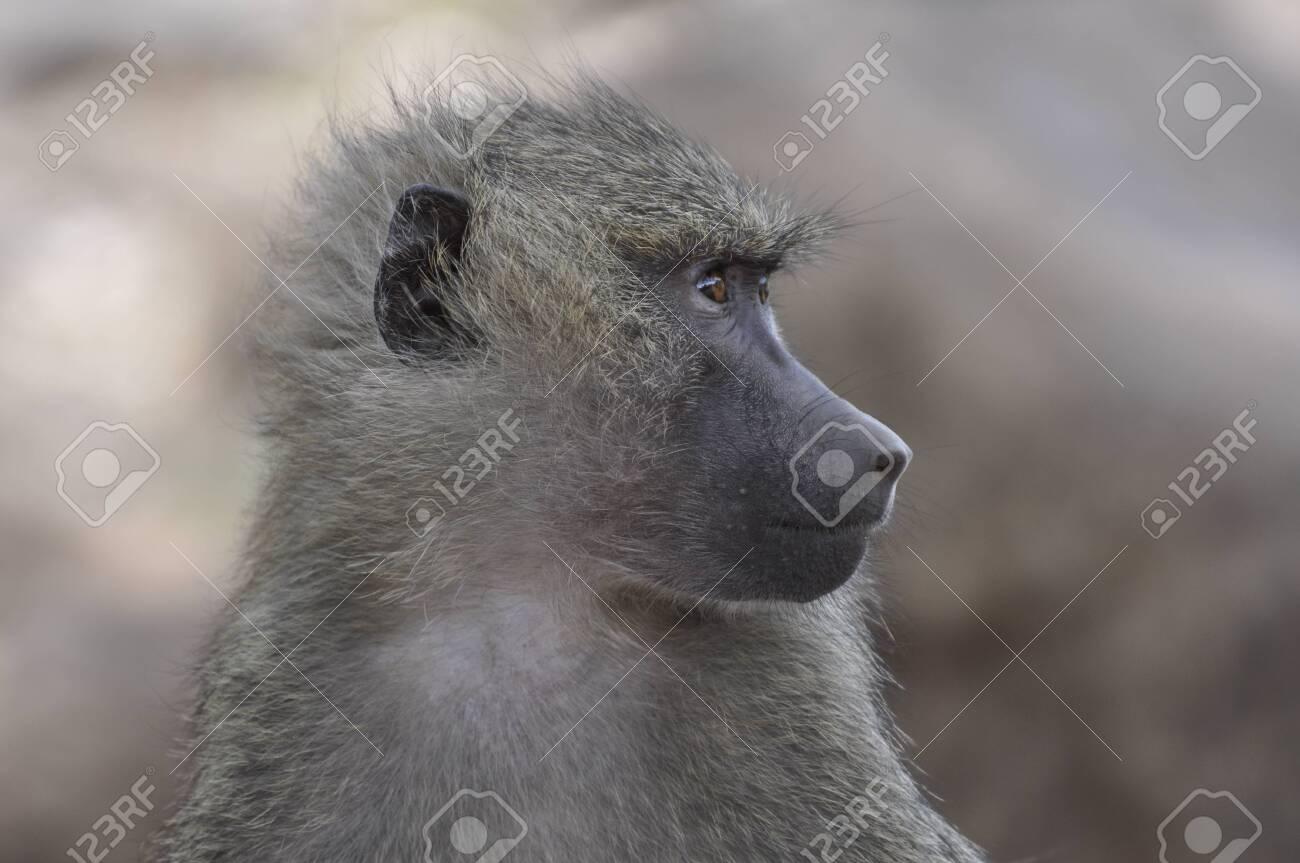 Baboon - Tanzania - 27874557