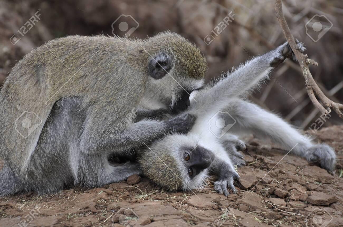 Vervet Monkey - Tanzania - 27874291