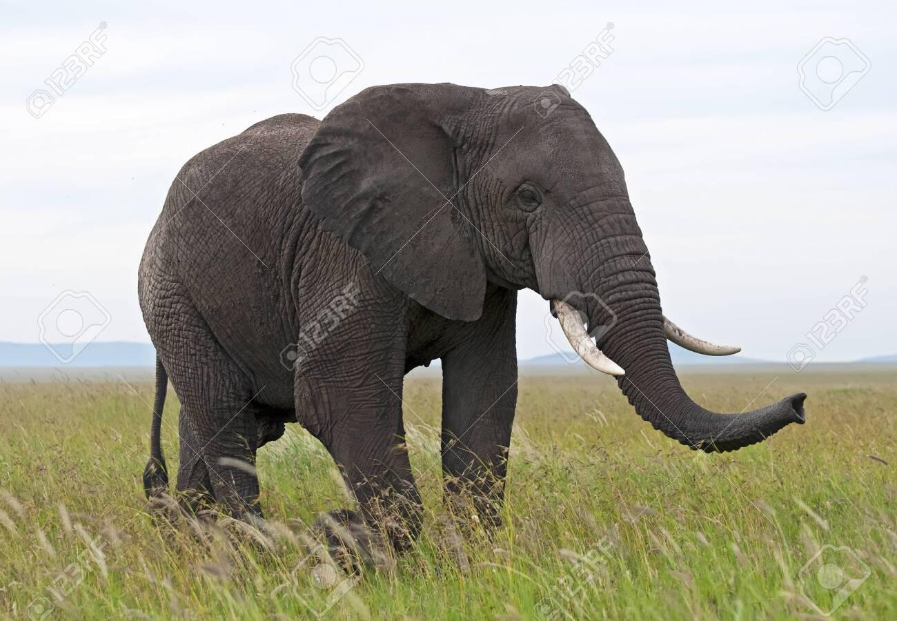 Elephant - Serengeti - 27874292