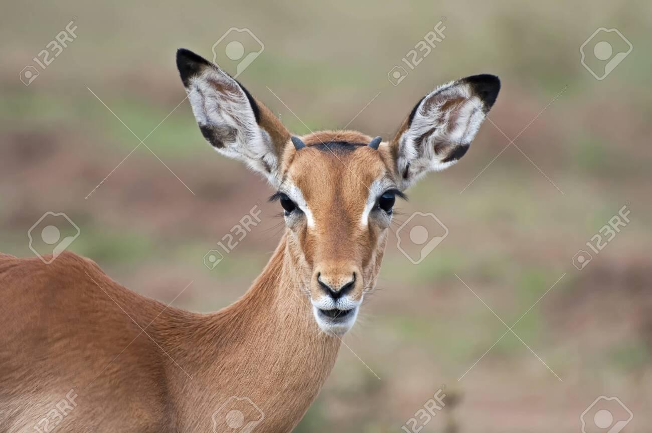 Impala - Serengeti - 27874293