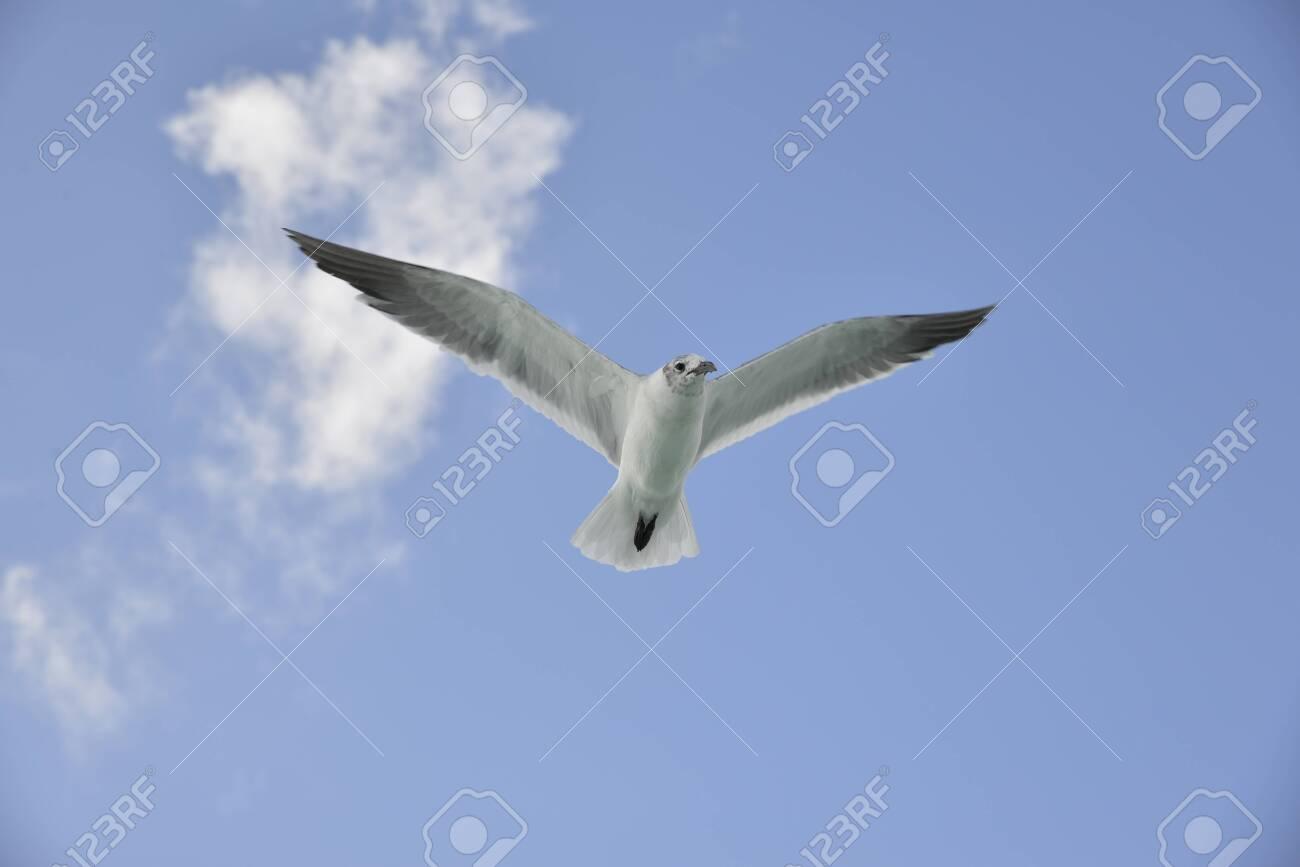 Seagull in flight - 134659163