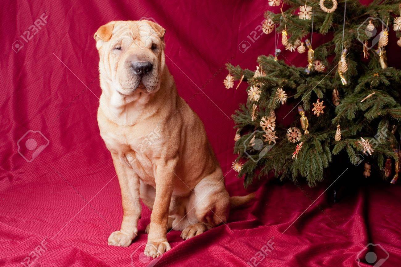 chien sharpei avec arbre de Noël Banque d'images - 15609159