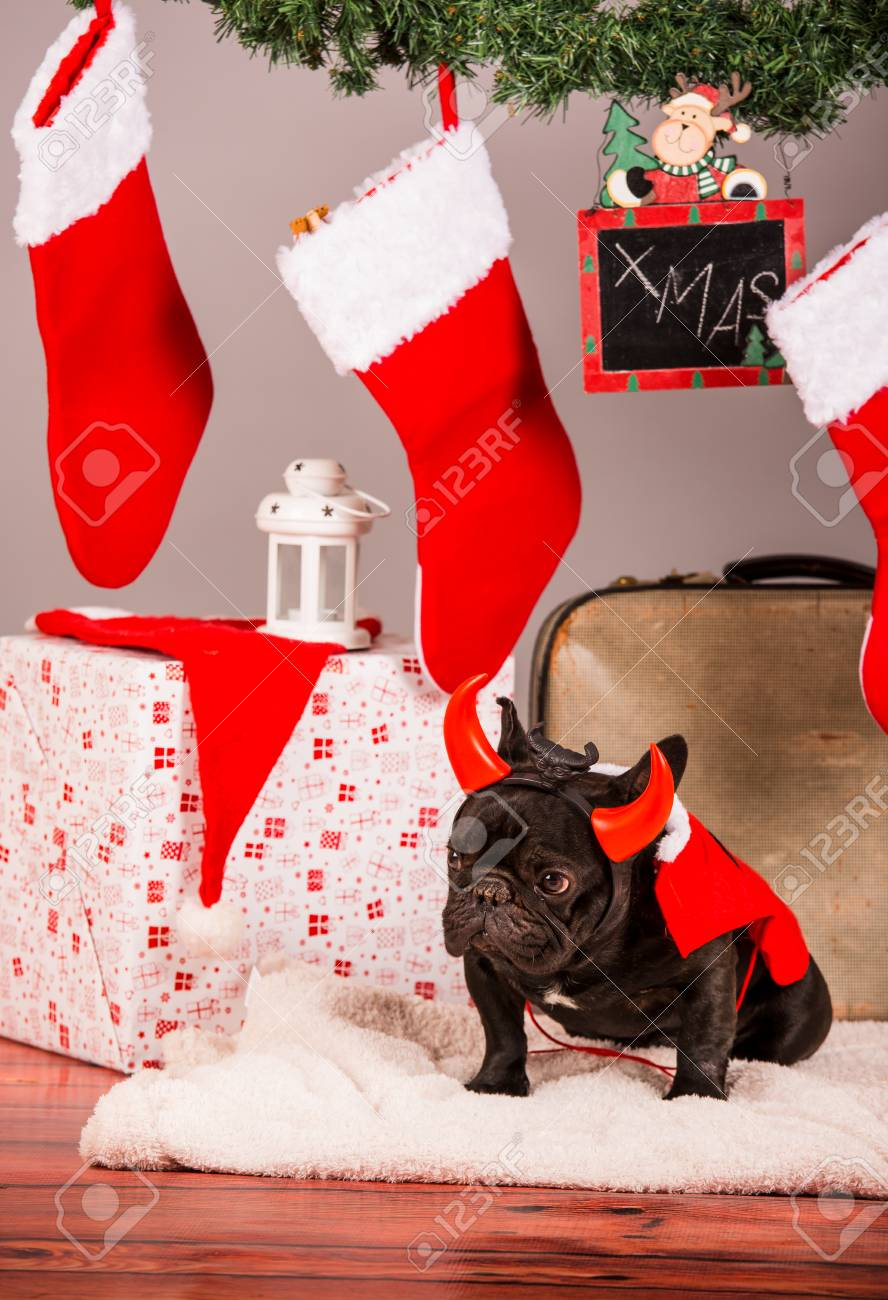 French Bulldog Christmas Stocking.French Bulldog With Christmas Decoraion In Studio