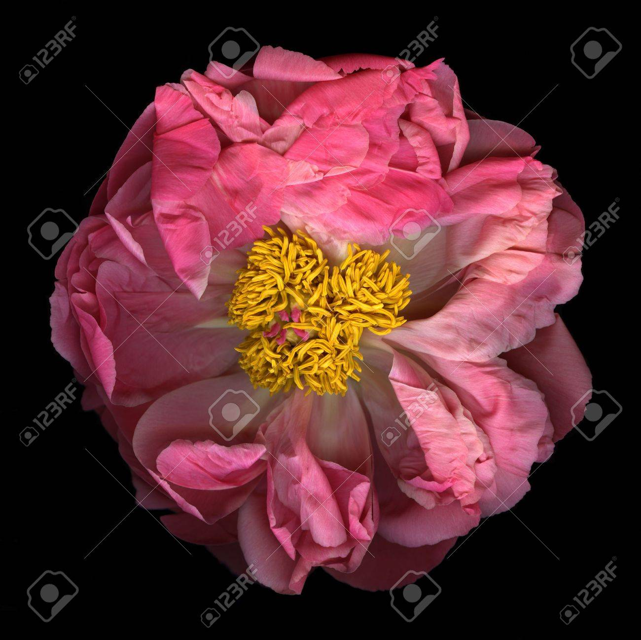 Pink peony in full bloom isolated on black background Stock Photo - 5056100