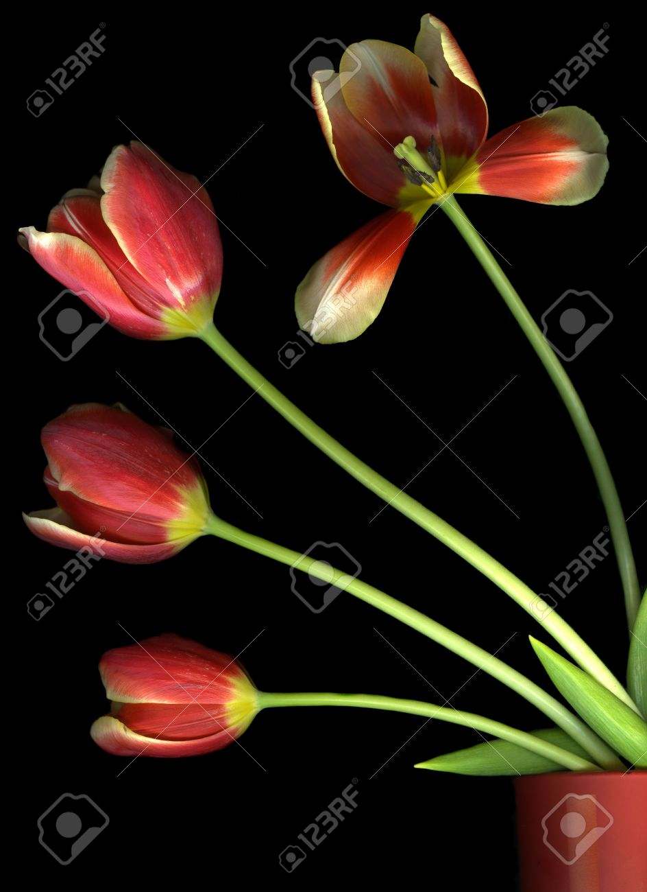 Vibrant red tulips in a flower pot isolated on black background Stock Photo - 5071583