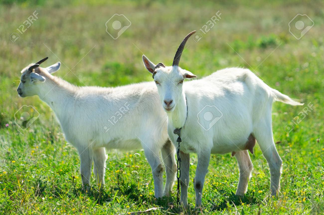 Funny goat with one horn. Stock Photo - 106684203