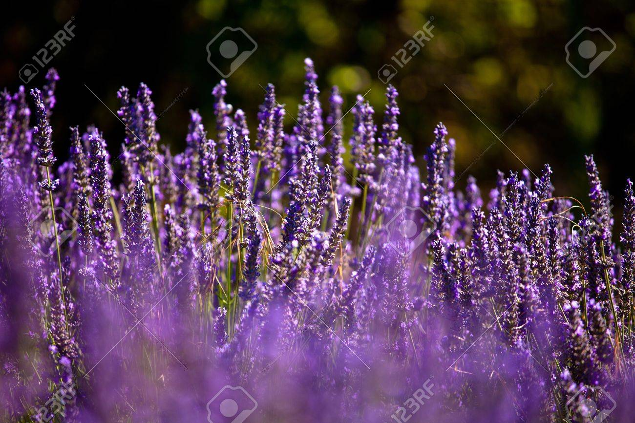 Blooming field of Lavender (Lavandula angustifolia) around Boux, Luberon Mountains, Vaucluse, Provence-Alpes-Cote d'Azur, Southern France, France, Europe, PublicGround Stock Photo - 16936369