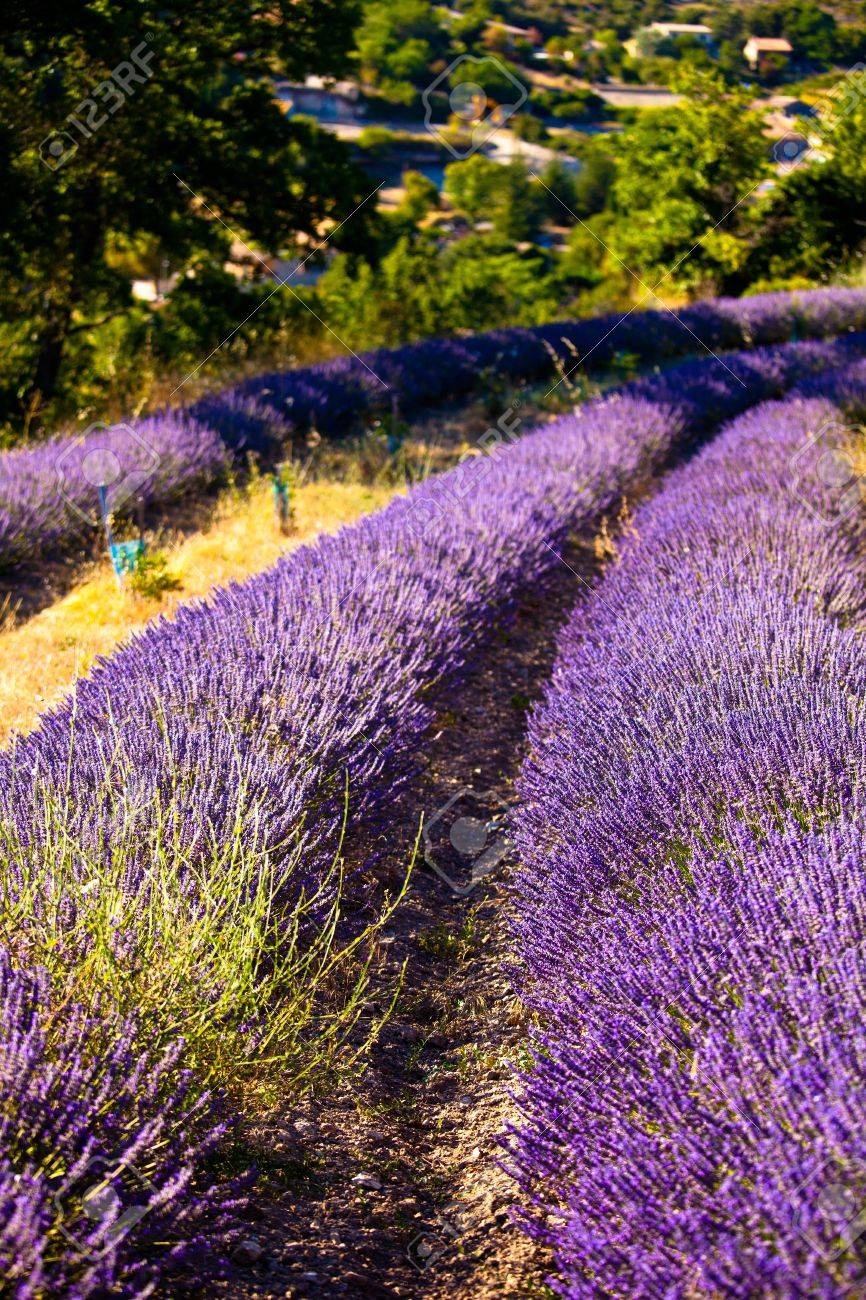 Blooming field of Lavender (Lavandula angustifolia) around Boux, Luberon Mountains, Vaucluse, Provence-Alpes-Cote d'Azur, Southern France, France, Europe, PublicGround Stock Photo - 16936282