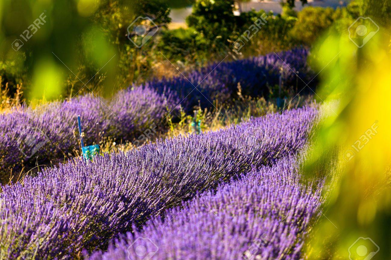 Blooming field of Lavender (Lavandula angustifolia) around Boux, Luberon Mountains, Vaucluse, Provence-Alpes-Cote d'Azur, Southern France, France, Europe, PublicGround Stock Photo - 16936341