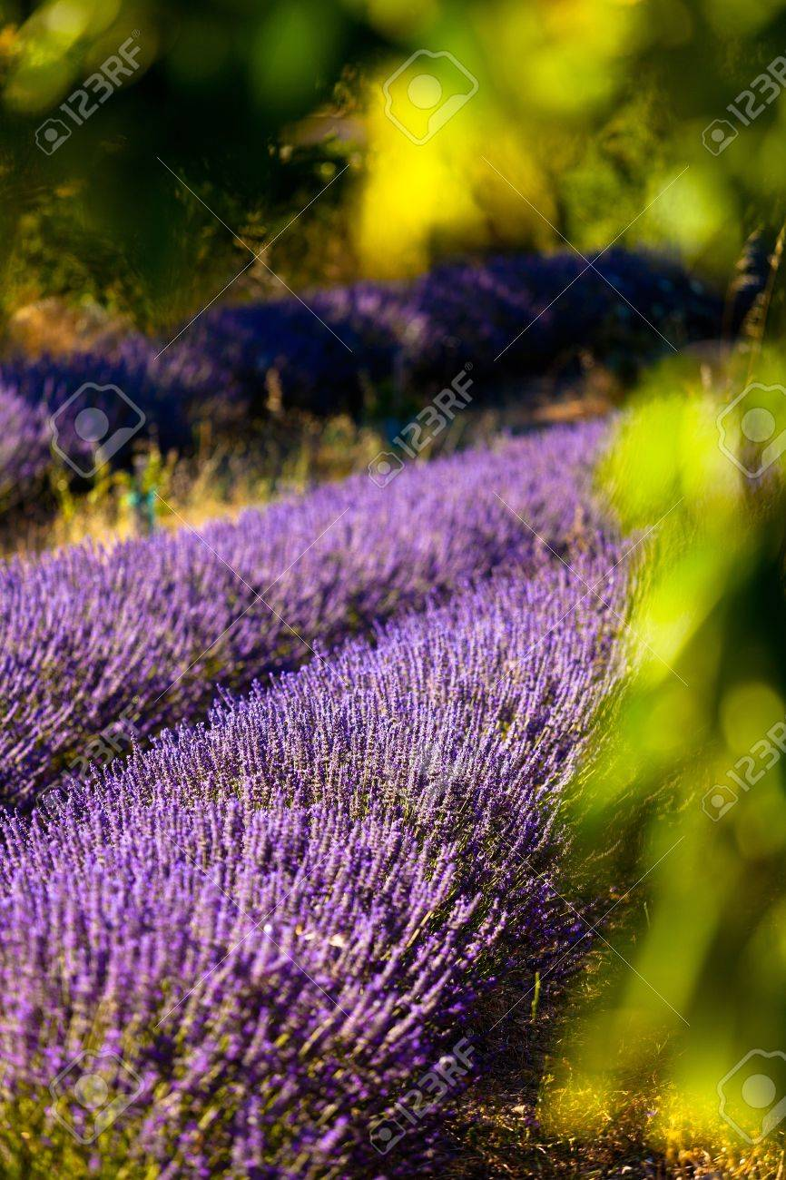 Blooming field of Lavender (Lavandula angustifolia) around Boux, Luberon Mountains, Vaucluse, Provence-Alpes-Cote d'Azur, Southern France, France, Europe, PublicGround Stock Photo - 16936333