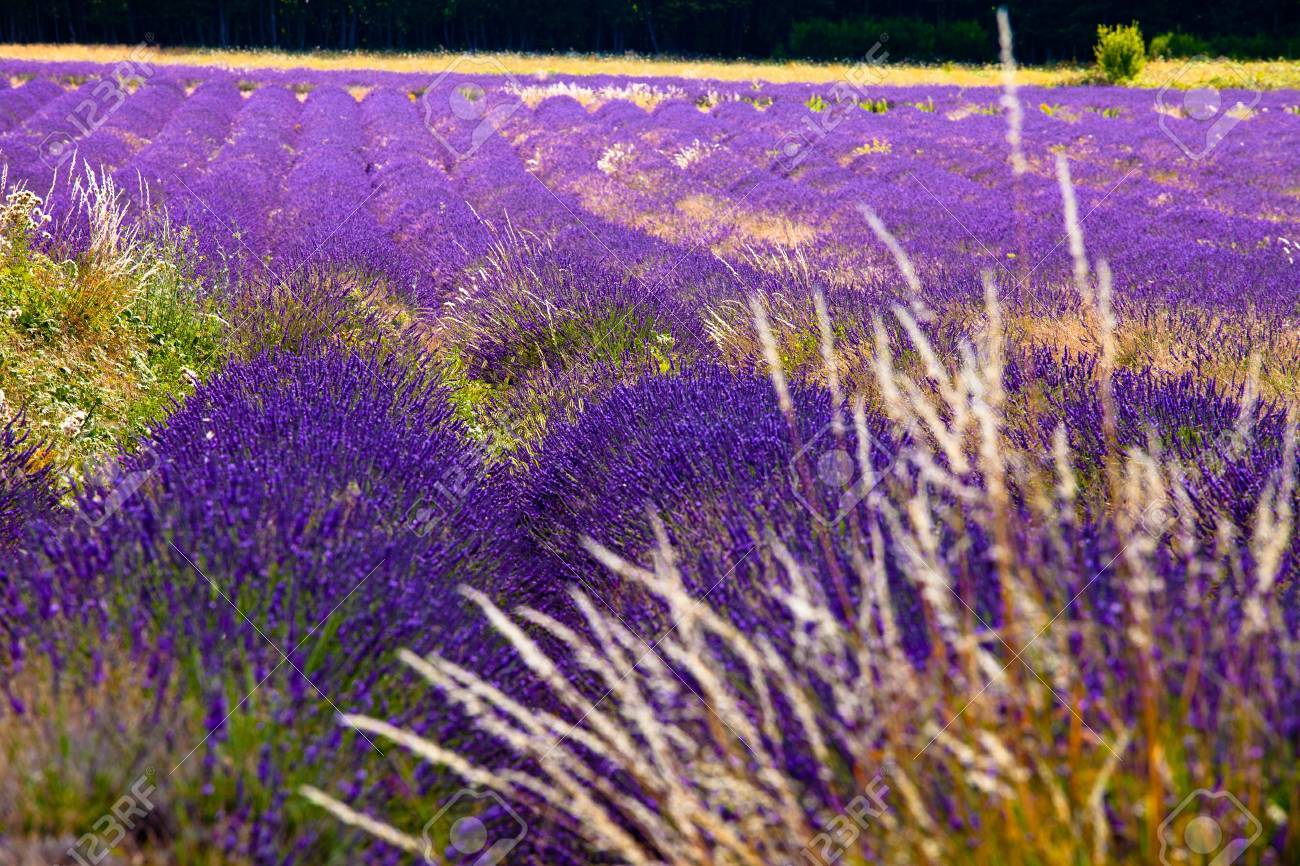Blooming field of Lavender (Lavandula angustifolia) near of St-Christol and Sault, Vaucluse, Provence-Alpes-Cote d'Azur, Southern France, France, Europe, PublicGround Stock Photo - 16936319