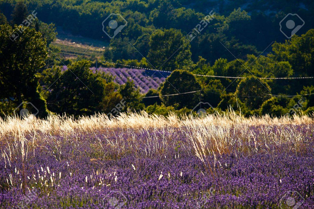 Blooming field of Lavender (Lavandula angustifolia) around Sault and Aurel, in the Chemin des Lavandes, Provence-Alpes-Cote d'Azur, Southern France, France, Europe, PublicGround Stock Photo - 16936325