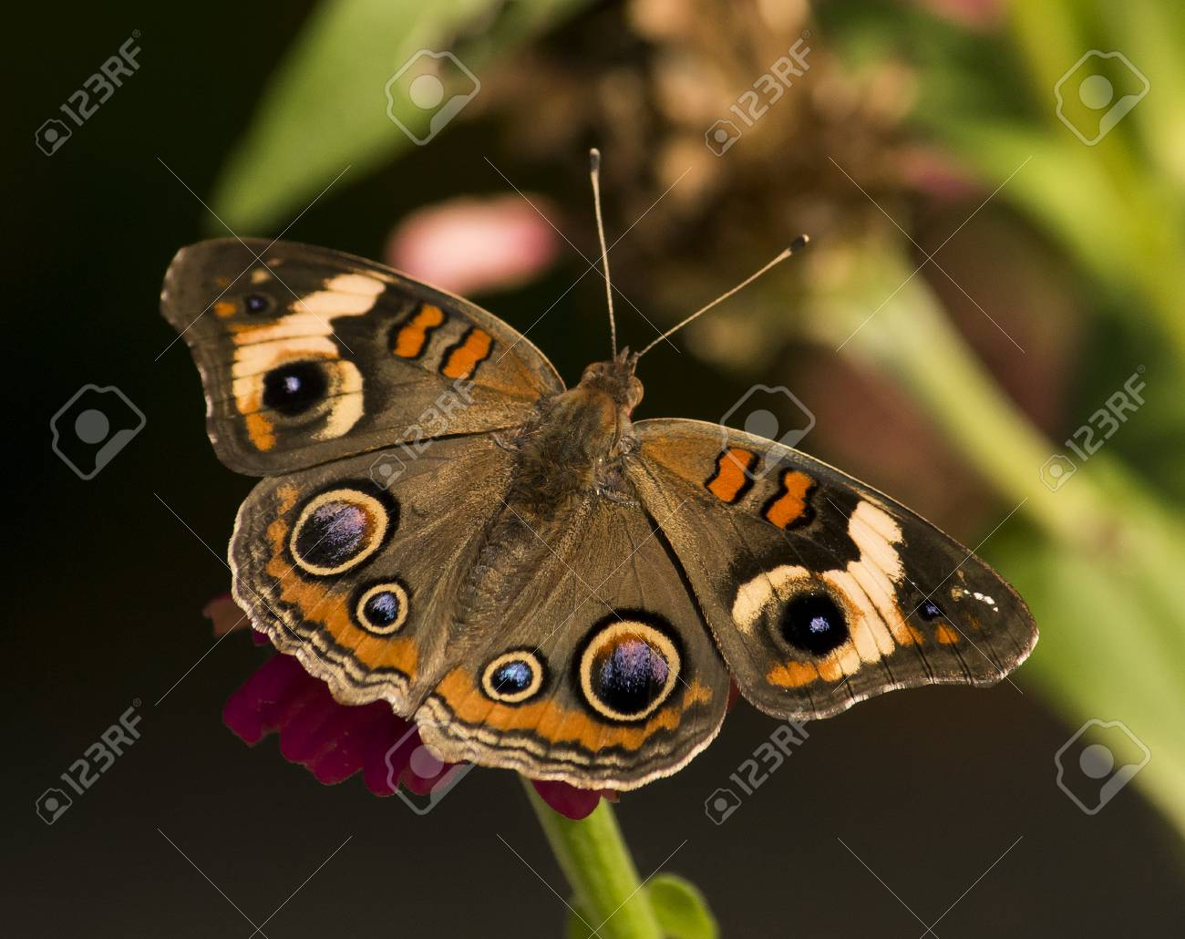 Buckeye Butterfly With Open Wings In A Garden. Stock Photo, Picture ...