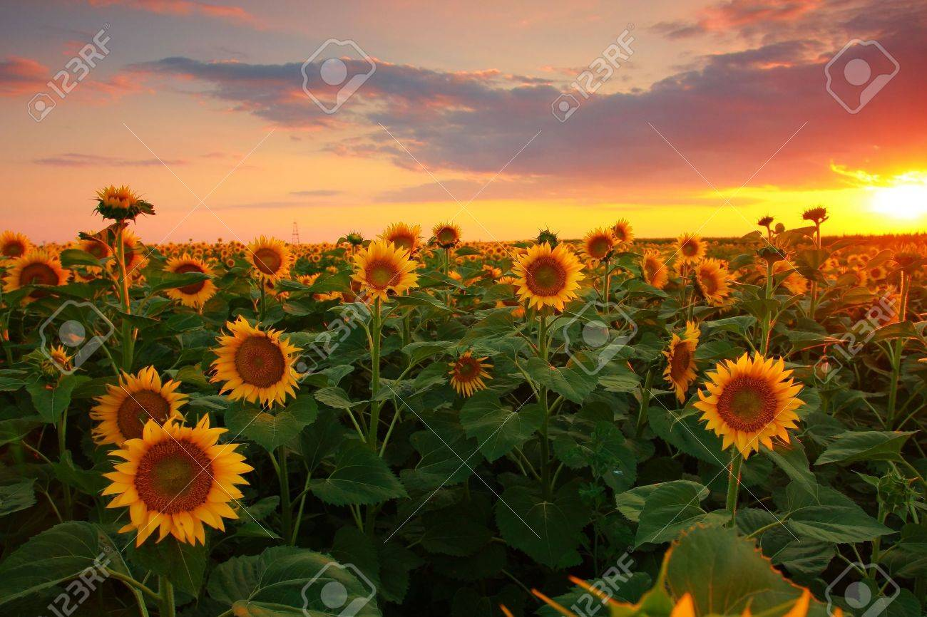 夜 に 咲く 向日葵 は