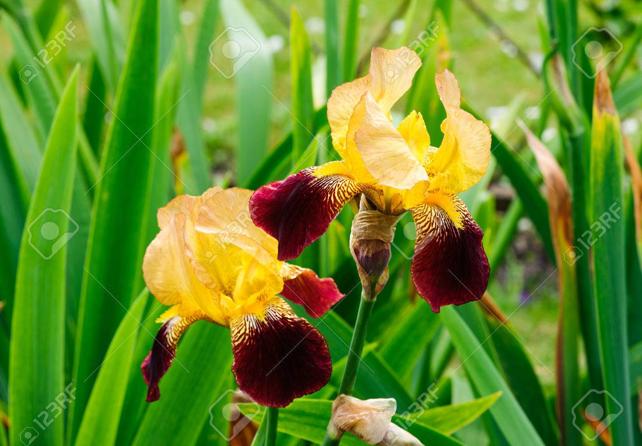 Beautiful blossom yellow and red tall bearded iris flowers stock beautiful blossom yellow and red tall bearded iris flowers stock photo 78819761 izmirmasajfo