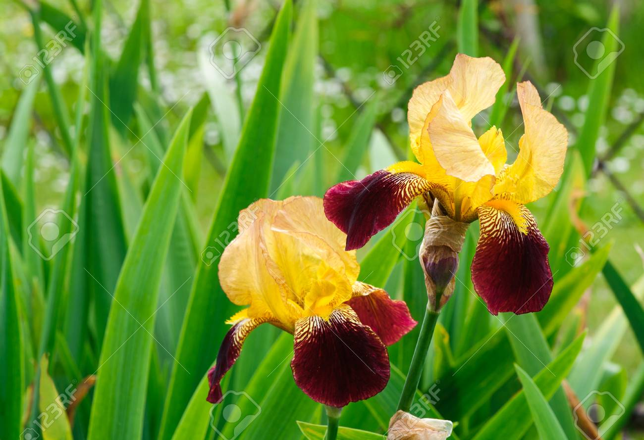 Amazing beautiful iris flowers gallery images for wedding gown beautiful blossom yellow and red tall bearded iris flowers stock izmirmasajfo Images