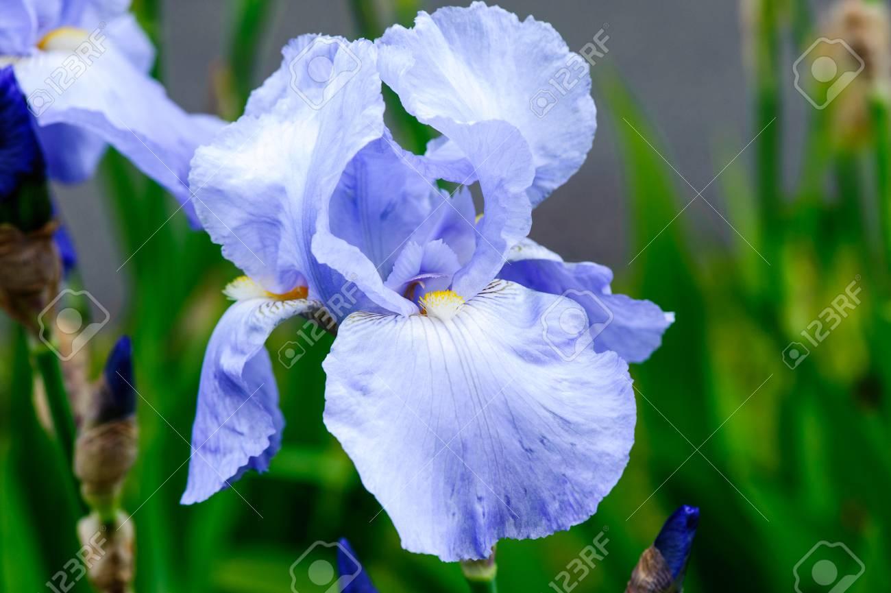 Beautiful Blossom Blue Tall Bearded Iris Flowers Stock Photo