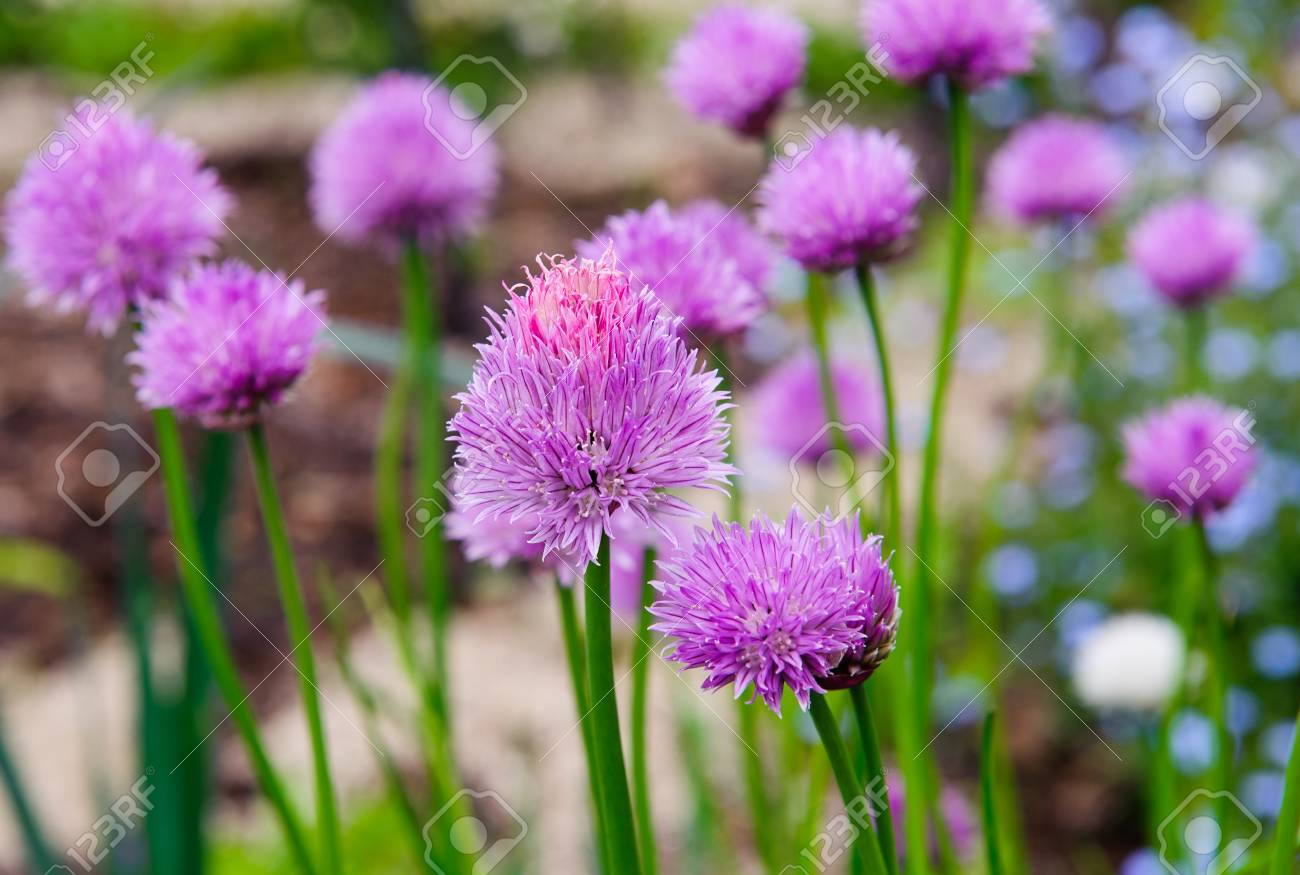 A pink flowers of chives allium schoenoprasum growing in the a pink flowers of chives allium schoenoprasum growing in the garden stock photo 78819775 mightylinksfo Image collections