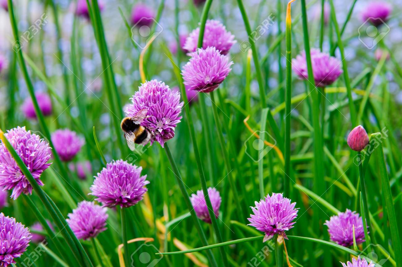 A pink flowers of chives allium schoenoprasum growing in the a pink flowers of chives allium schoenoprasum growing in the garden stock photo 78819782 mightylinksfo Image collections