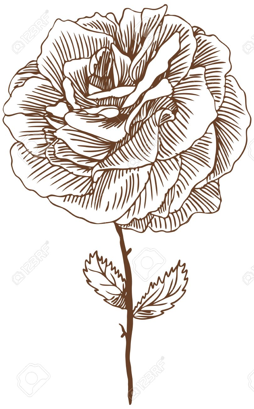 Rose Dessin 3 Fleur Rose Belle Main Tire Proviennent Des Feuilles