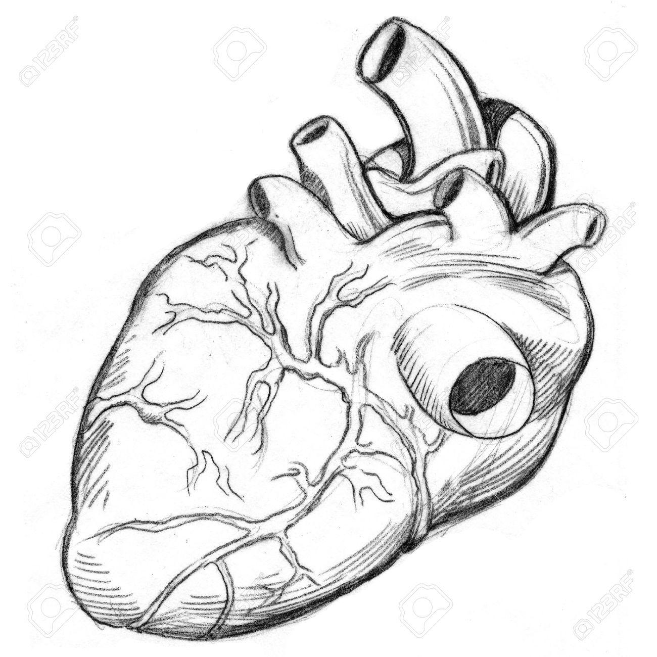 an image of a human heart drawing. stock photo, picture and, Muscles