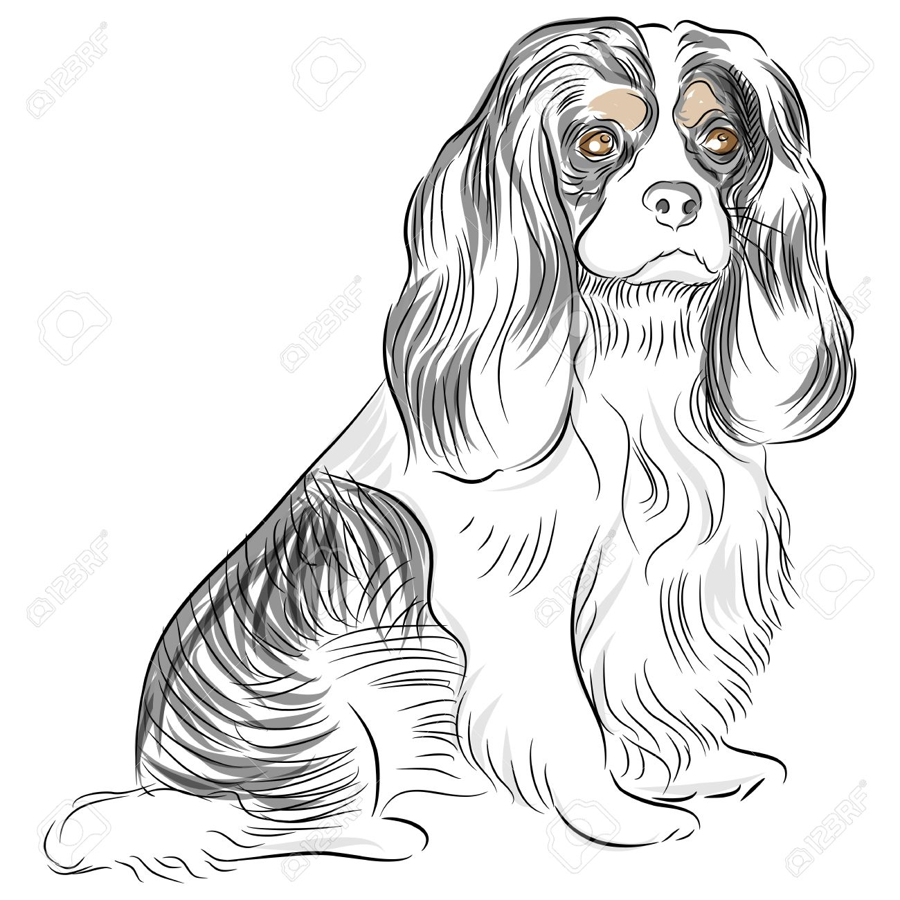 An image of a Cavalier King Charles Spaniel dog Drawing. Stock Vector - 9805337