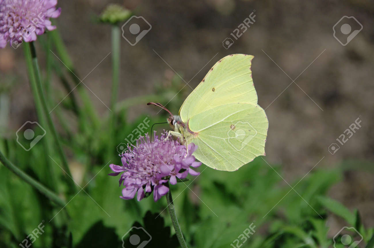 a yellow butterfly sits on a pink blossom, close-up - 160184252