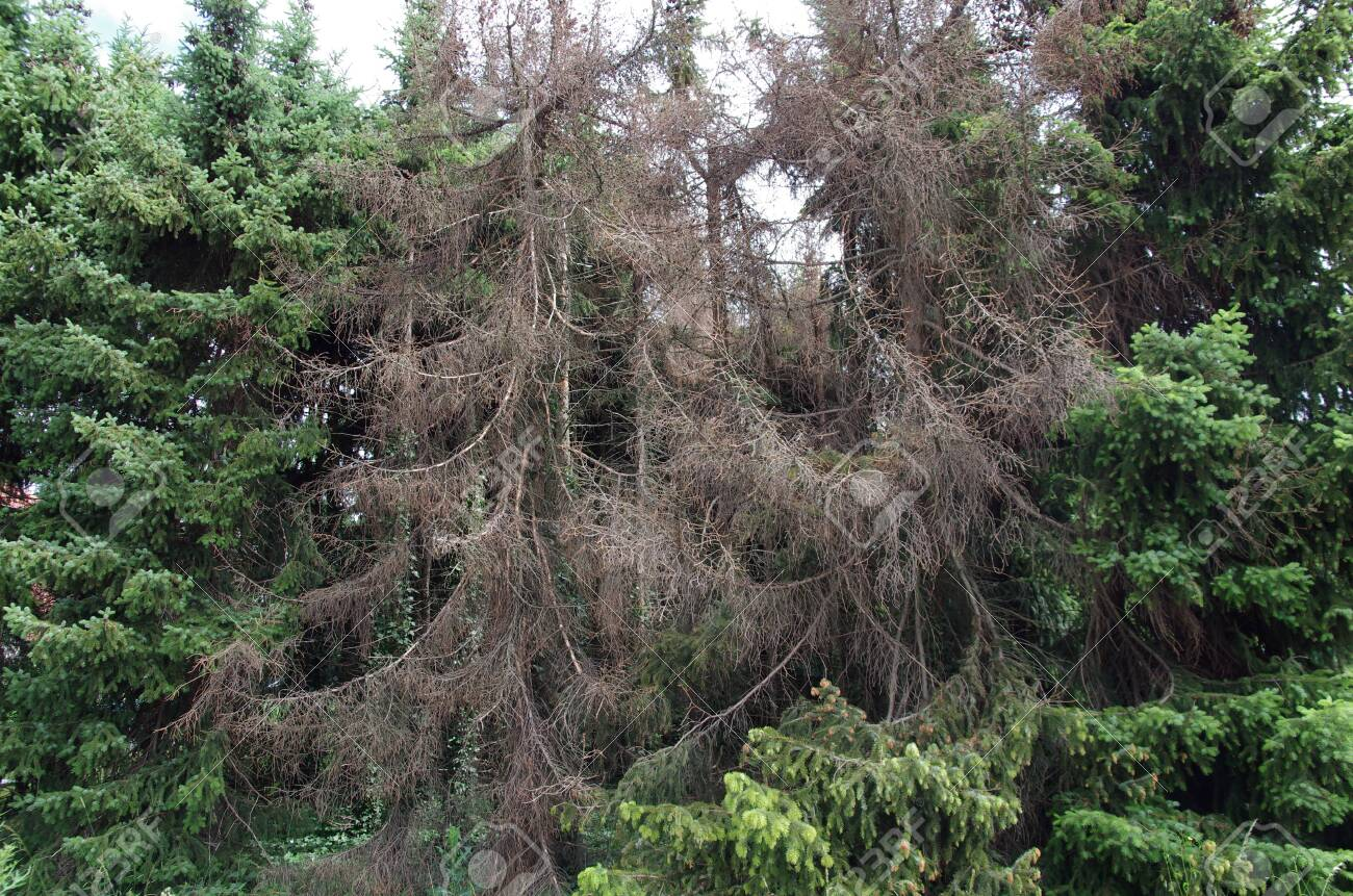 Several spruces are infected by the bark beetle and die - 150111415