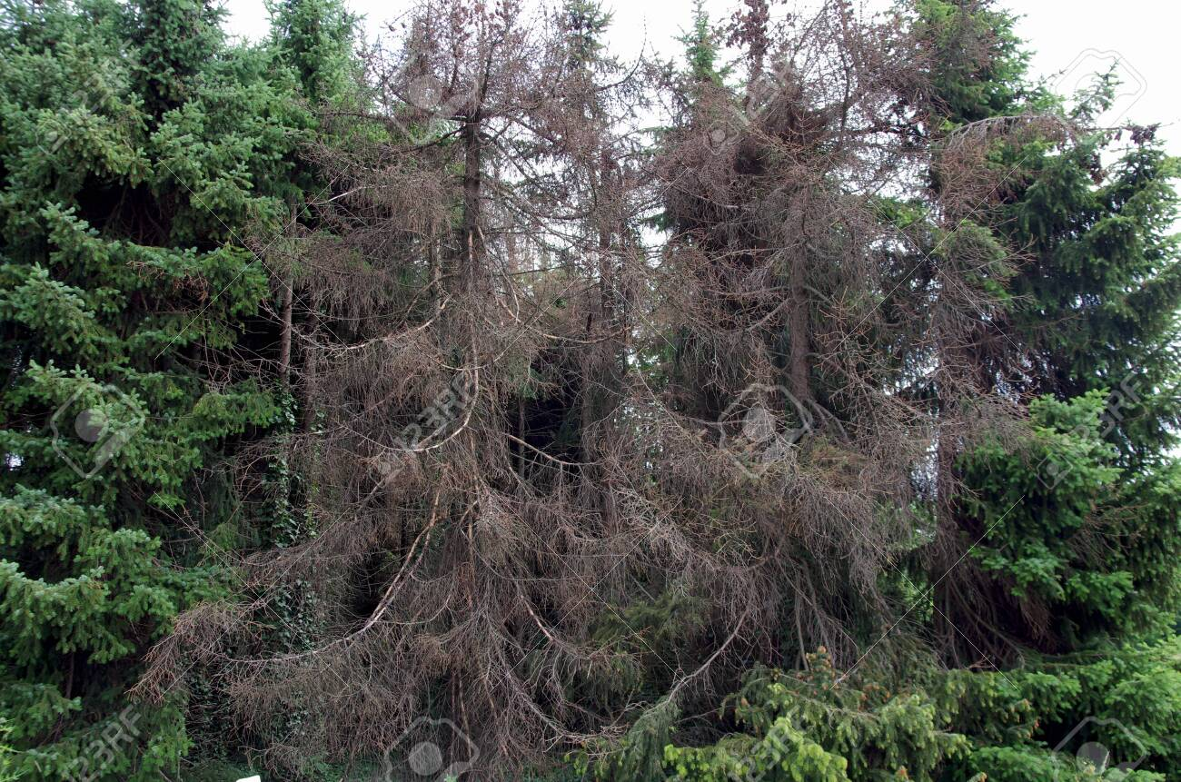 more and more spruces turn brown because they are affected by bark beetles - 150111418