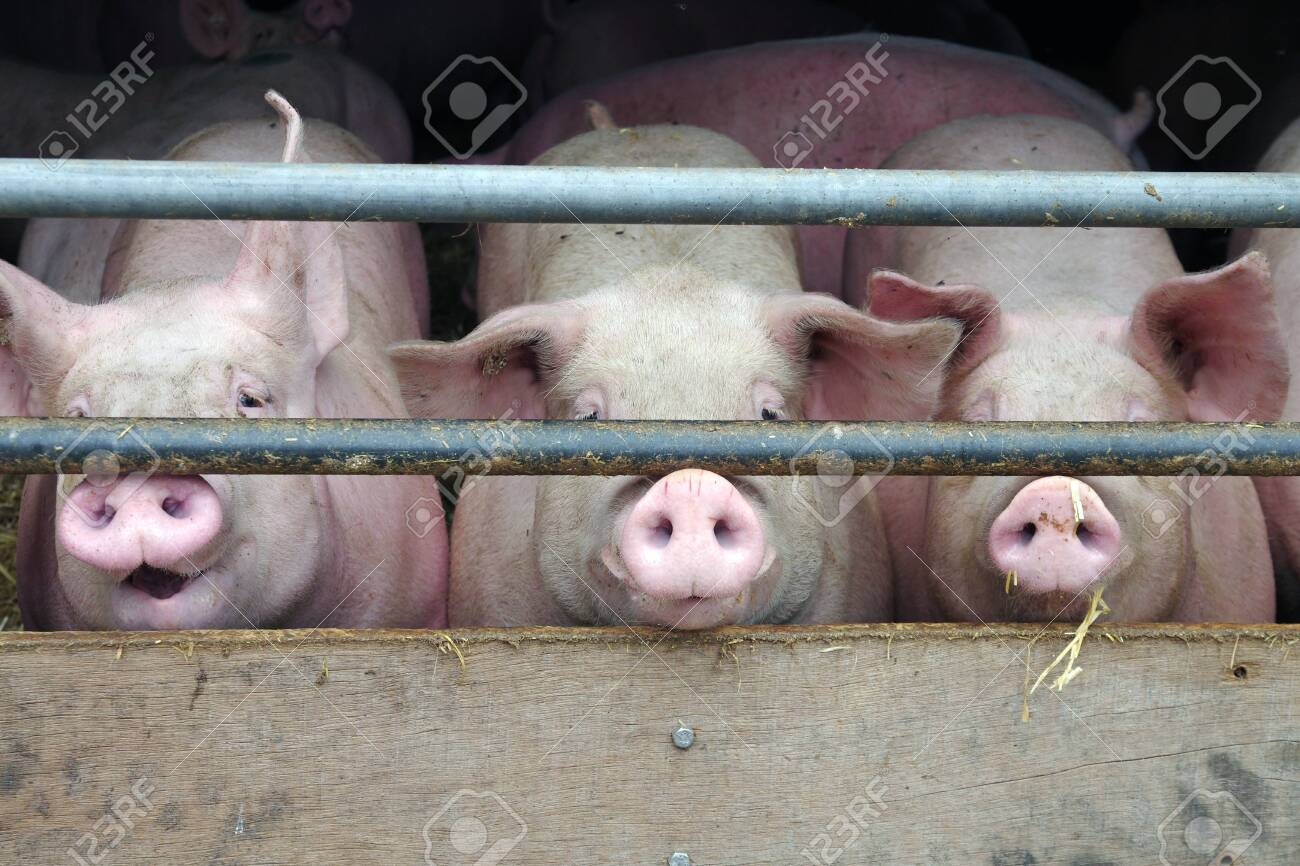 Three pigs are locked up in the barn and look out through the bars - 150682973