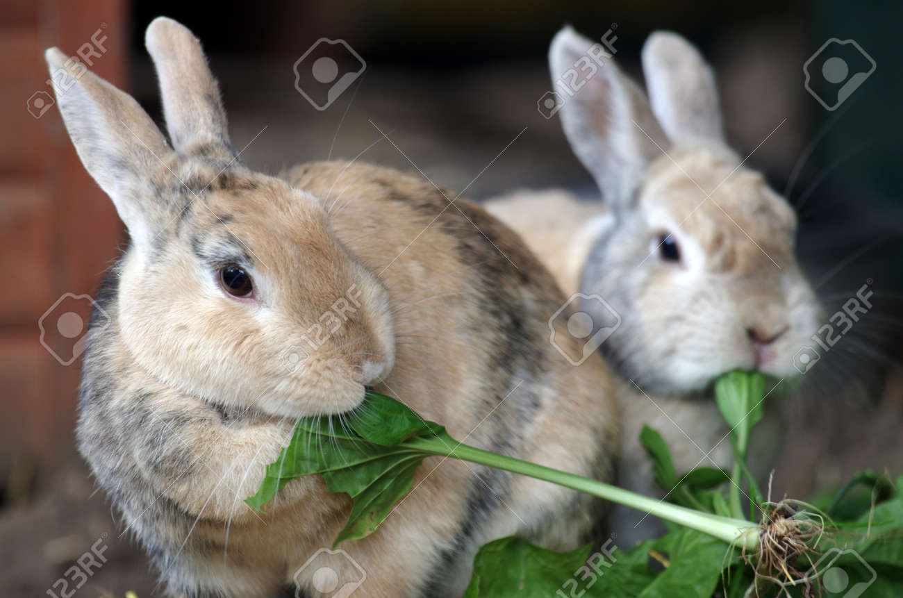 two small brown domestic rabbits eat fresh green leaves - 152613492