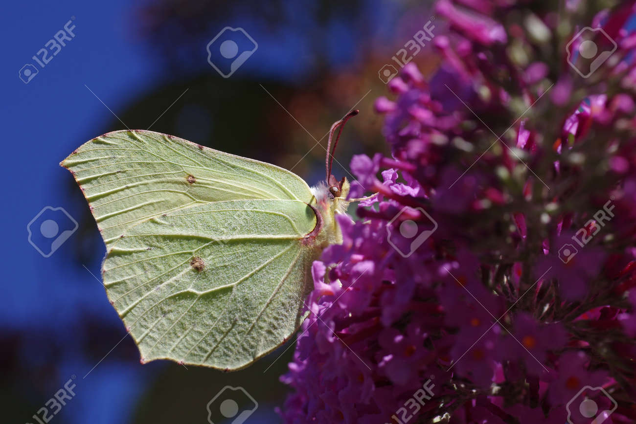 Close up of a yellow butterfly on the lilac, in the background the blue sky - 152613775