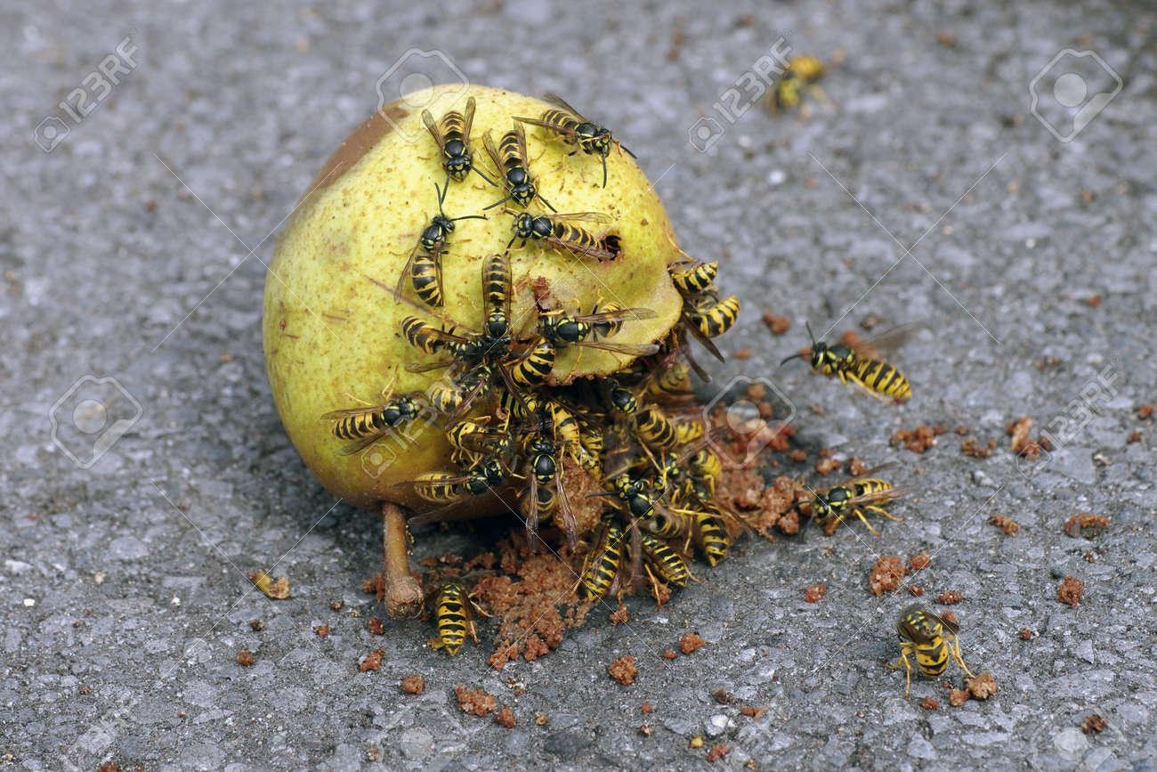 many wasps eat a rotten pear, dangerous insects in summer - 155421104