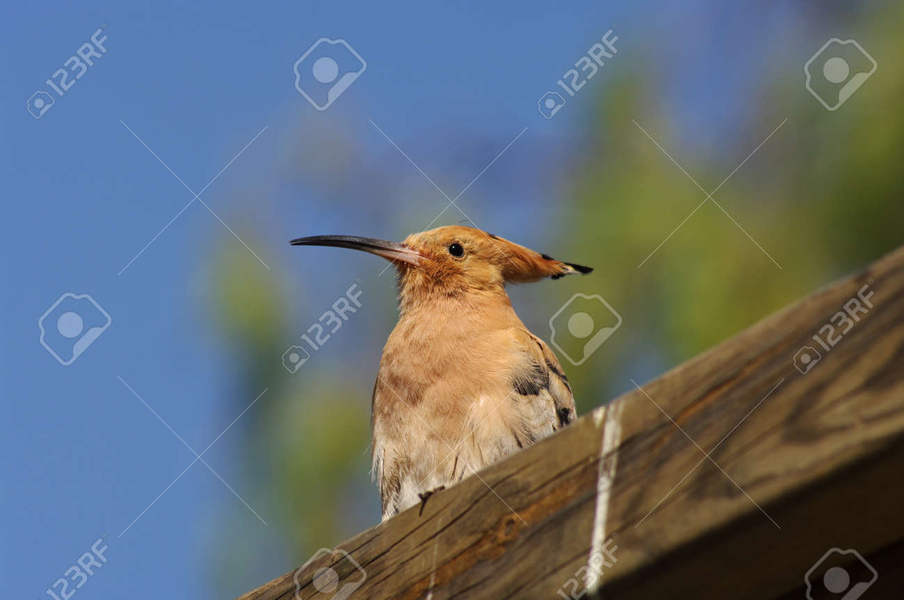 beautiful nature, the hoopoe sits outside against the blue sky - 162824966