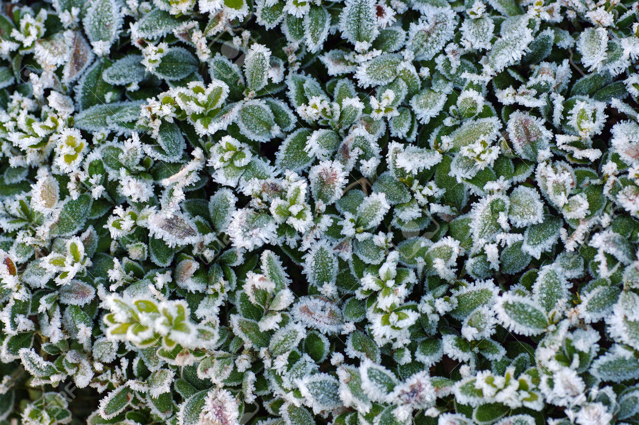 the hedge of a boxwood covered with frost in winter - 162869804