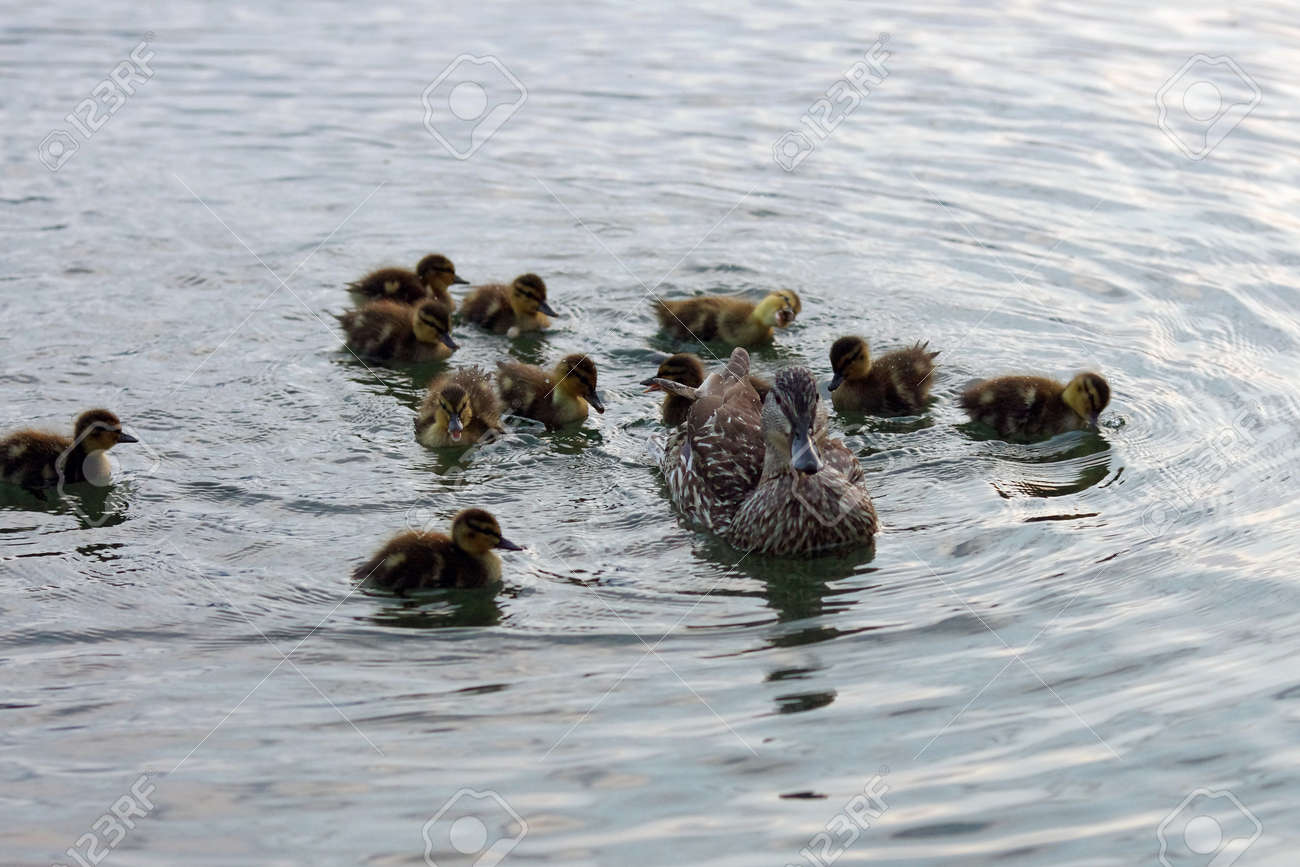 the duck family swims in the lake - 163823253