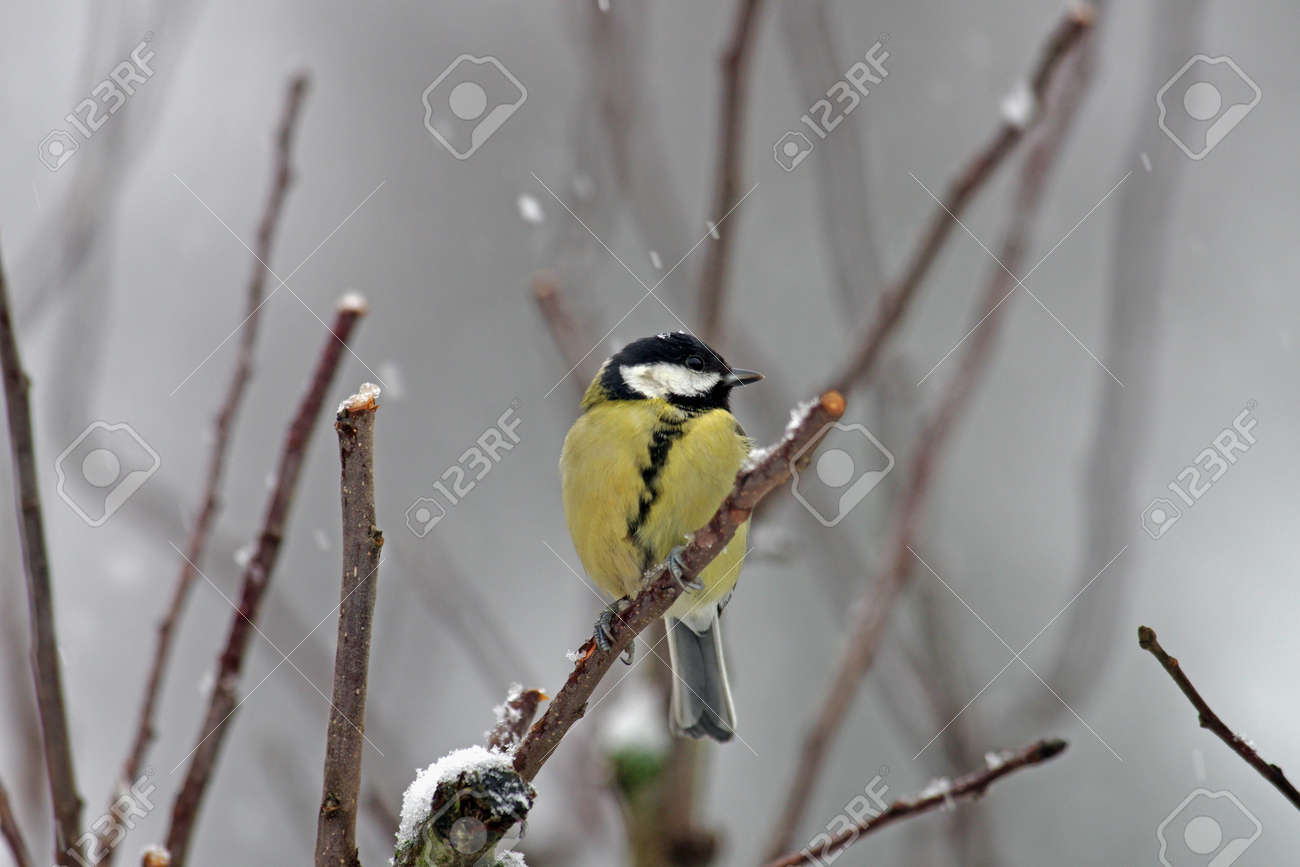 it is snowing and a great tit is sitting on a branch - 163823665