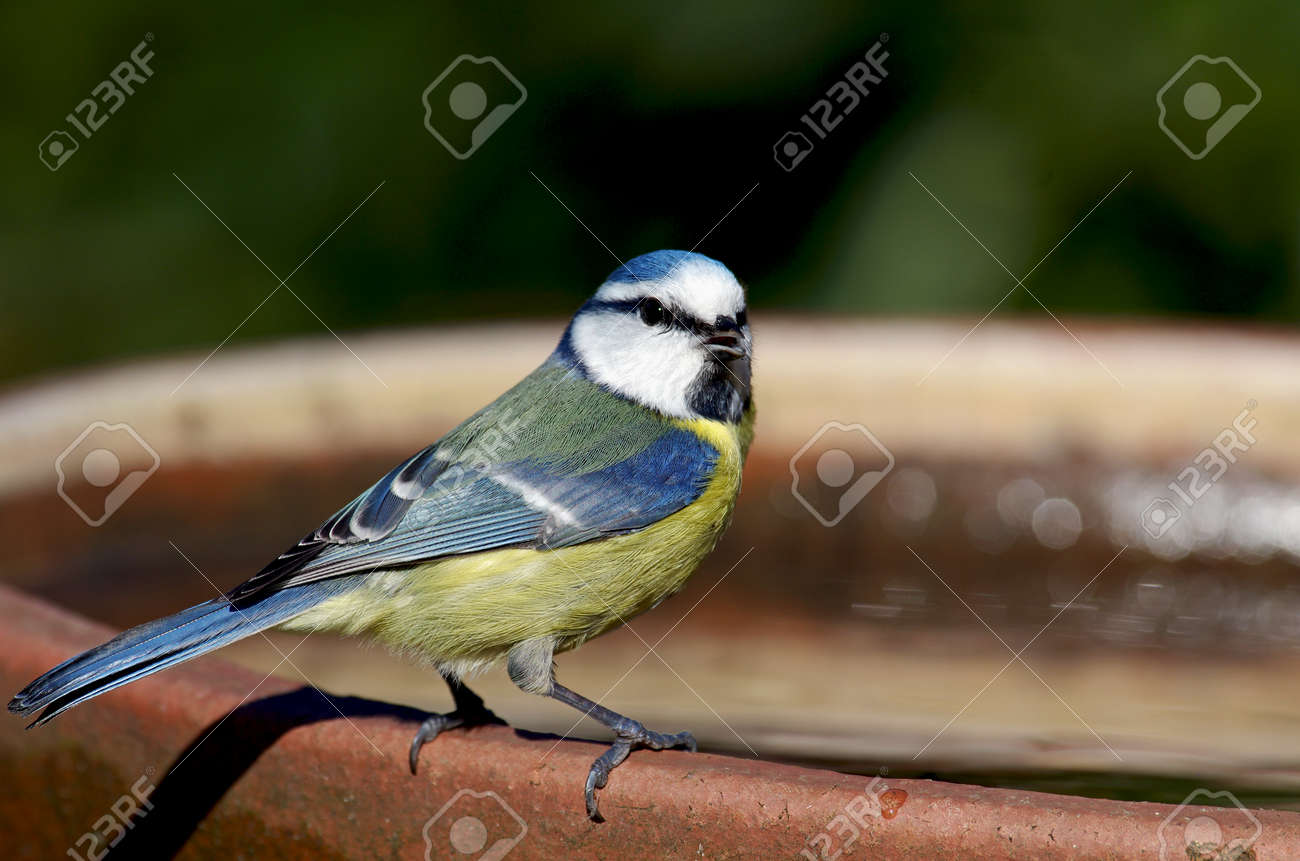 a blue tit with a slightly open beak looks straight into the camera - 164301737
